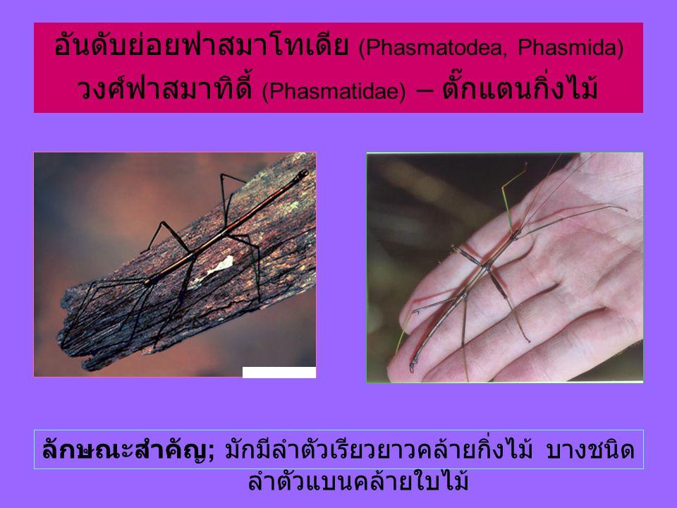อันดับย่อยฟาสมาโทเดีย (Phasmatodea, Phasmida)