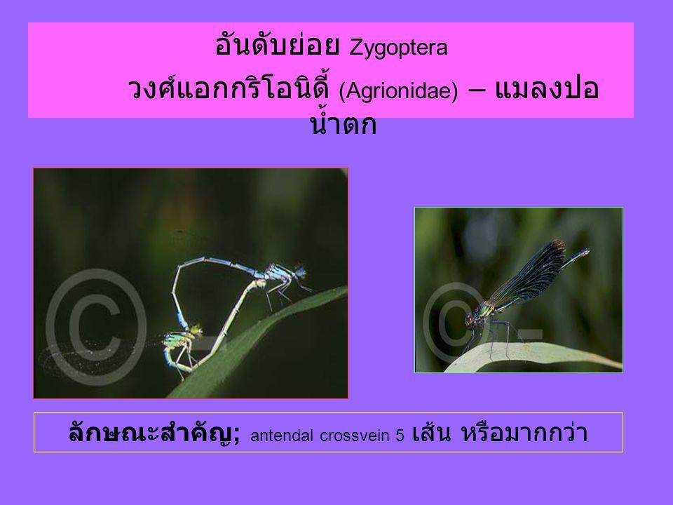 วงศ์แอกกริโอนิดี้ (Agrionidae) – แมลงปอน้ำตก
