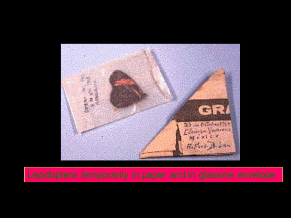 Lepidoptera temporarily in paper and in glassine envelope