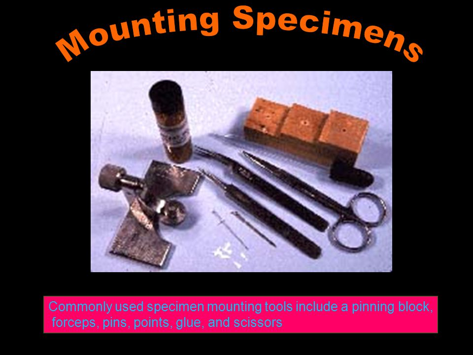 Mounting Specimens Commonly used specimen mounting tools include a pinning block, forceps, pins, points, glue, and scissors.