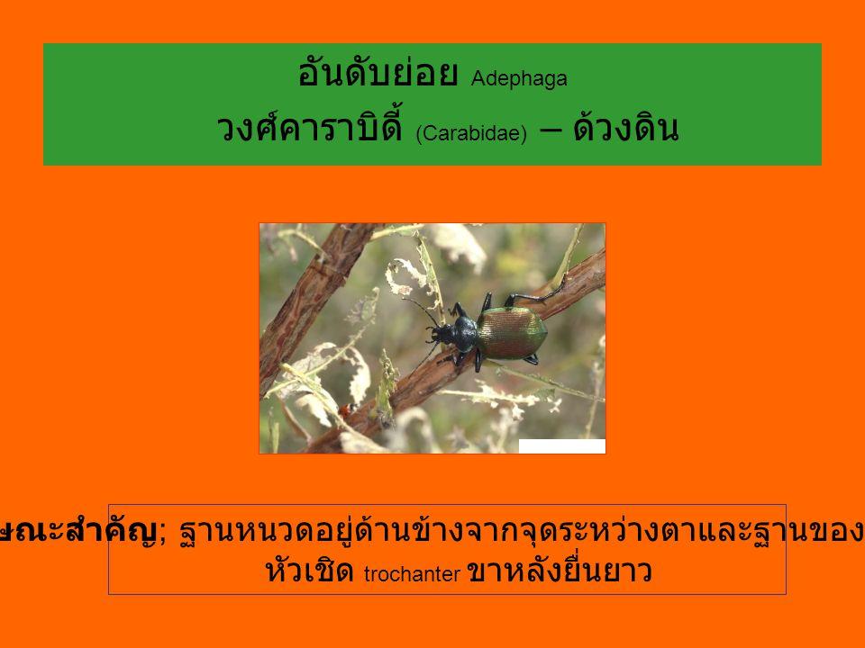 วงศ์คาราบิดี้ (Carabidae) – ด้วงดิน