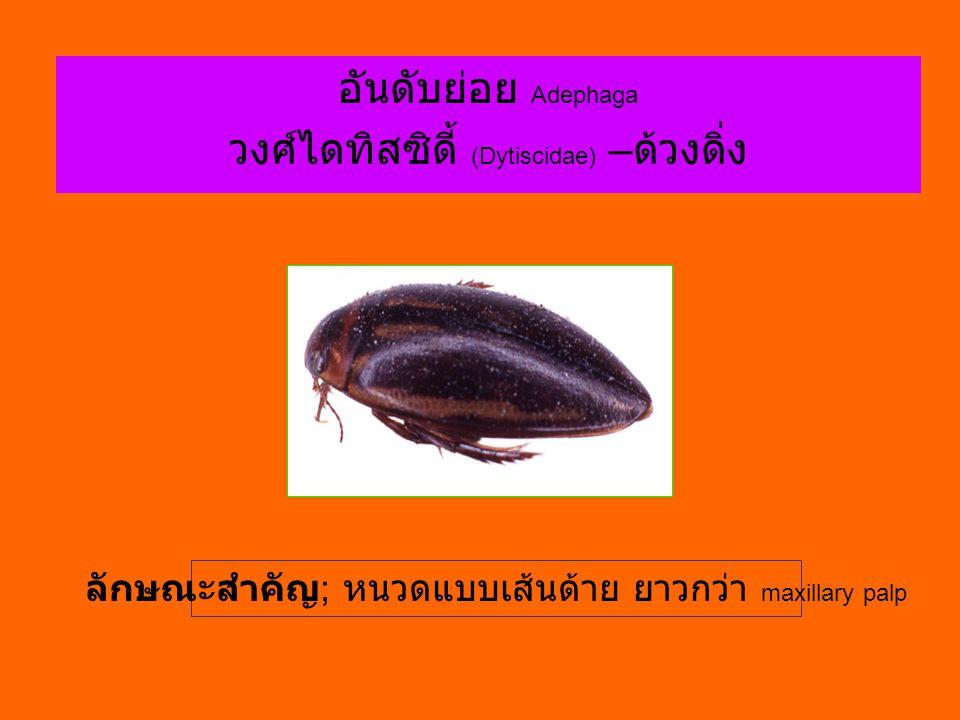 วงศ์ไดทิสซิดี้ (Dytiscidae) –ด้วงดิ่ง