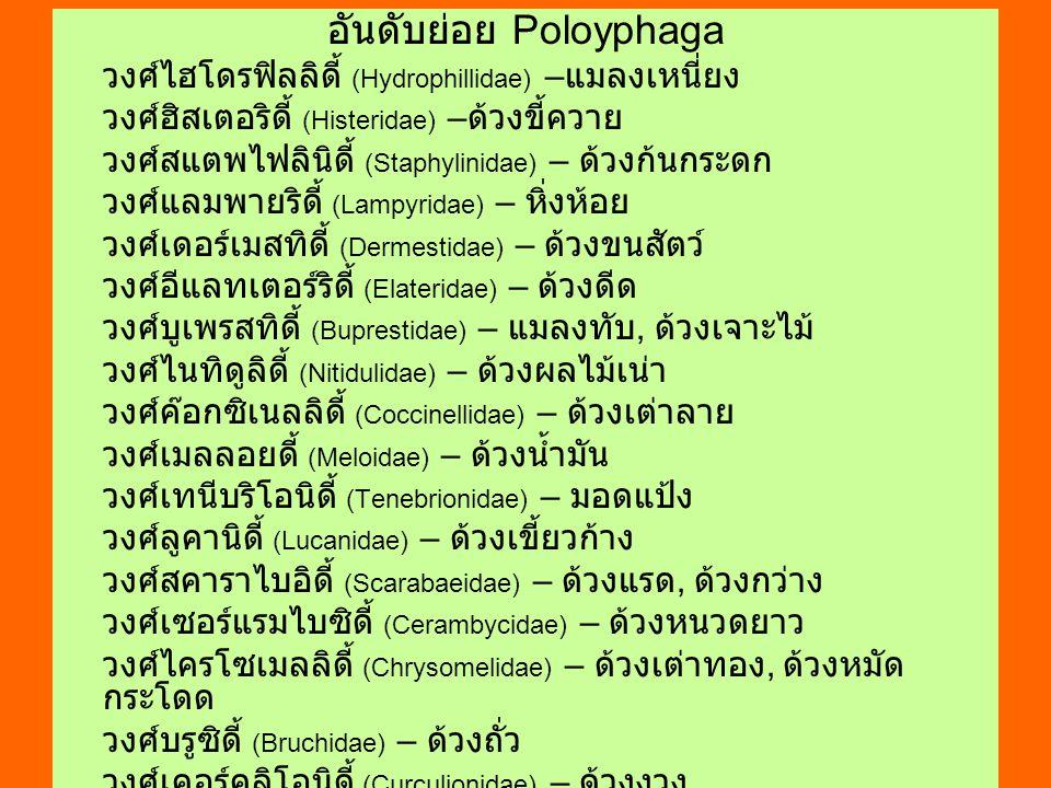 อันดับย่อย Poloyphaga