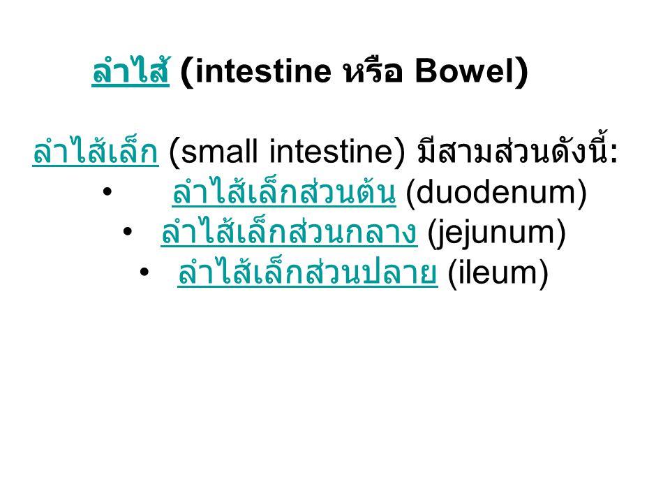 ลำไส้ (intestine หรือ Bowel)
