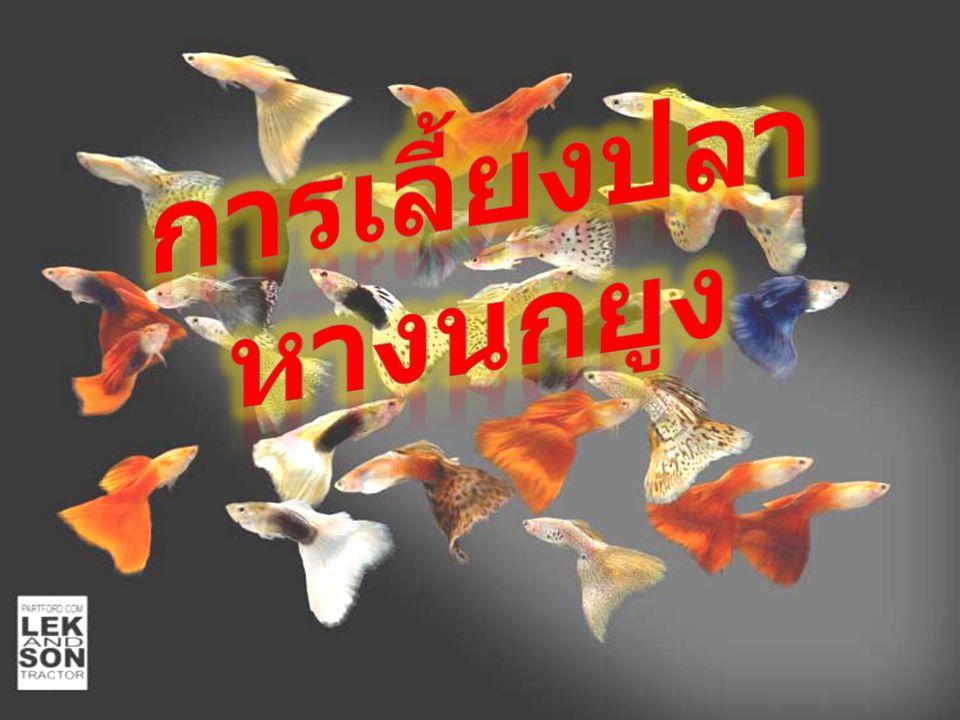 การเลี้ยงปลาหางนกยูง