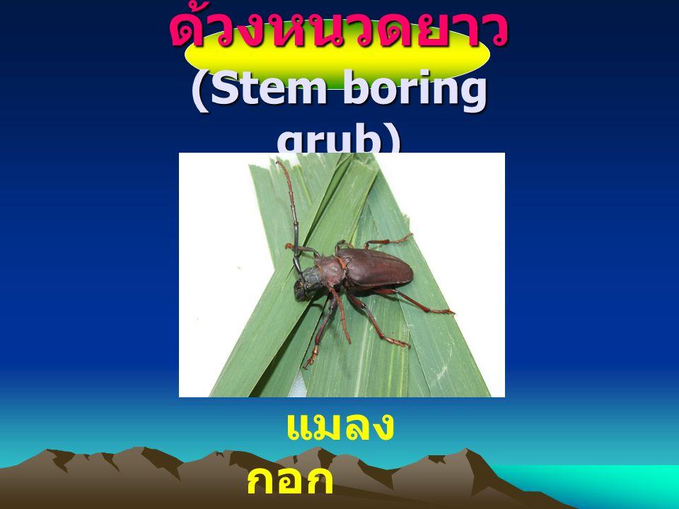 ด้วงหนวดยาว (Stem boring grub)
