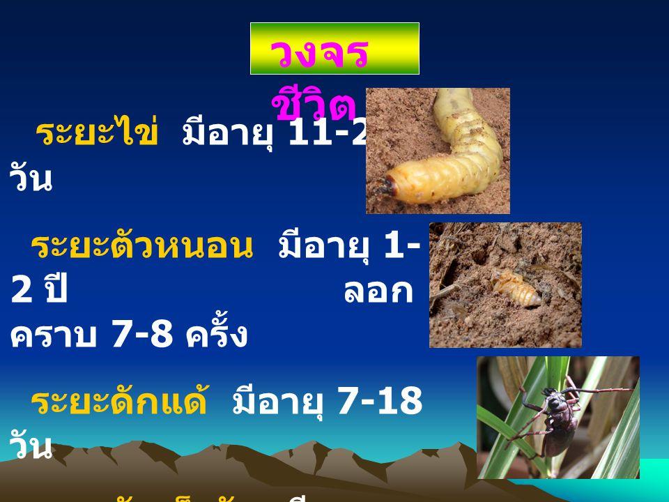 วงจรชีวิต ระยะไข่ มีอายุ 11-27 วัน