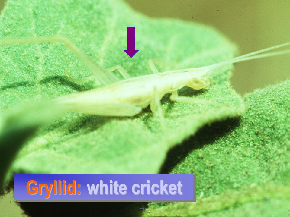 Gryllid: white cricket