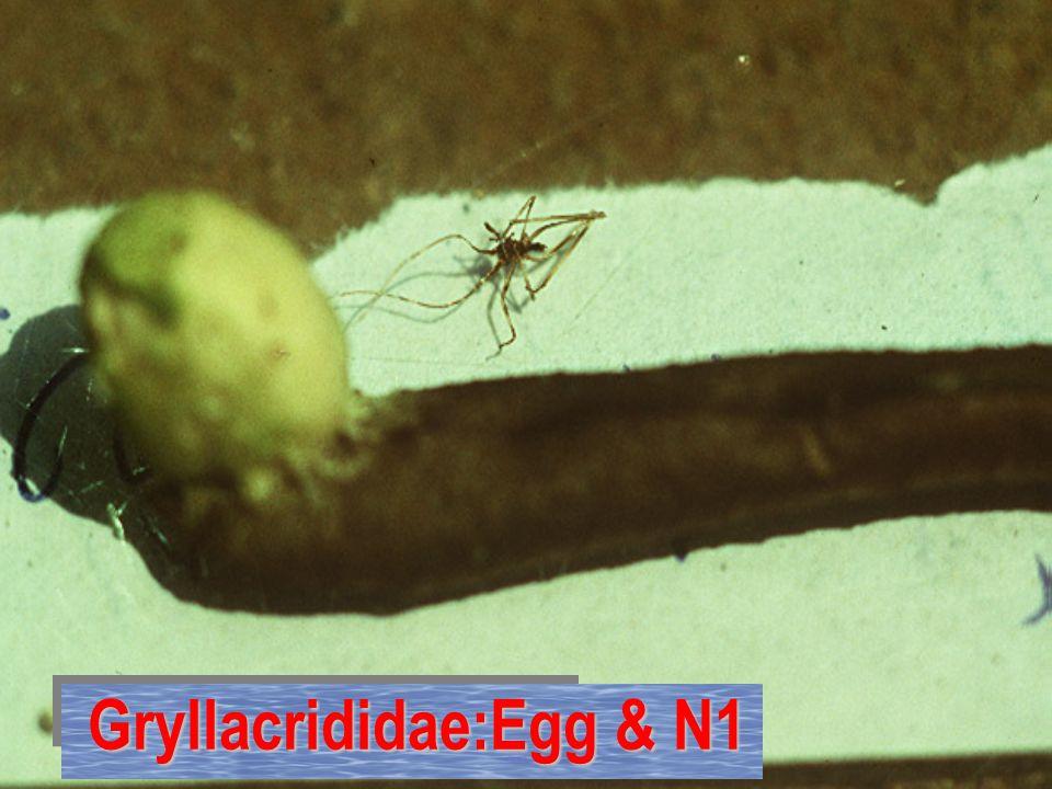 Gryllacrididae:Egg & N1