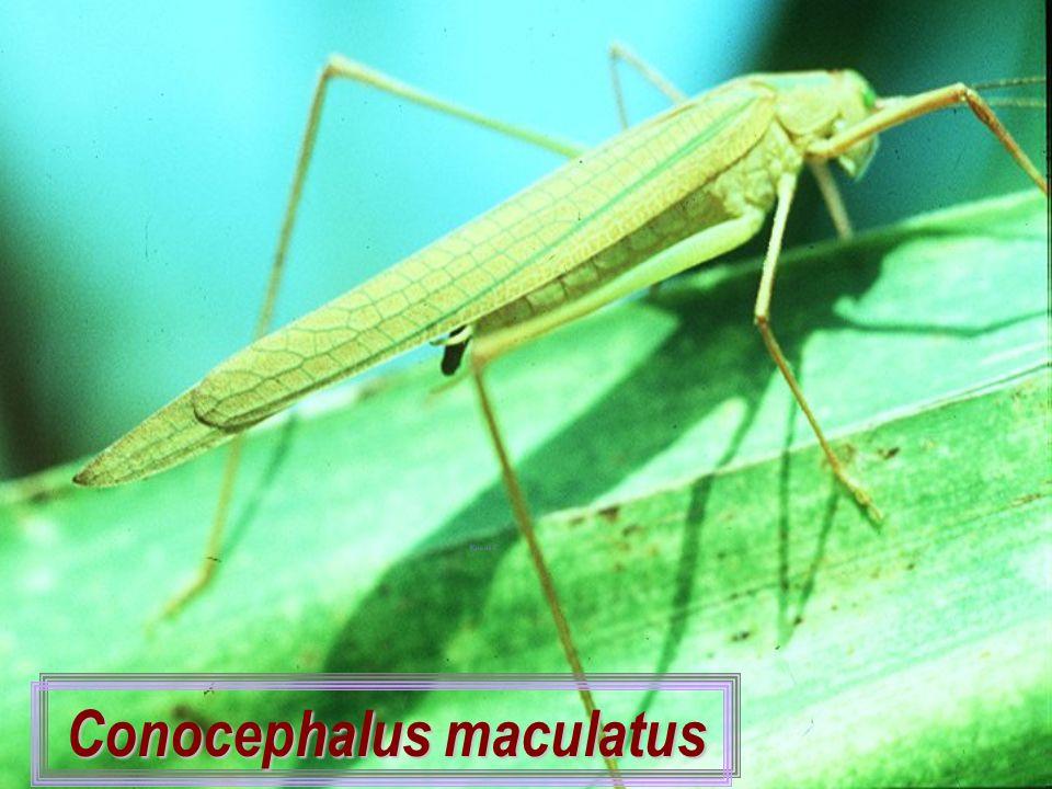Conocephalus maculatus