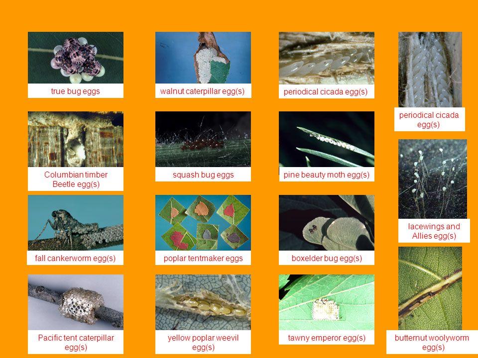 walnut caterpillar egg(s) periodical cicada egg(s)