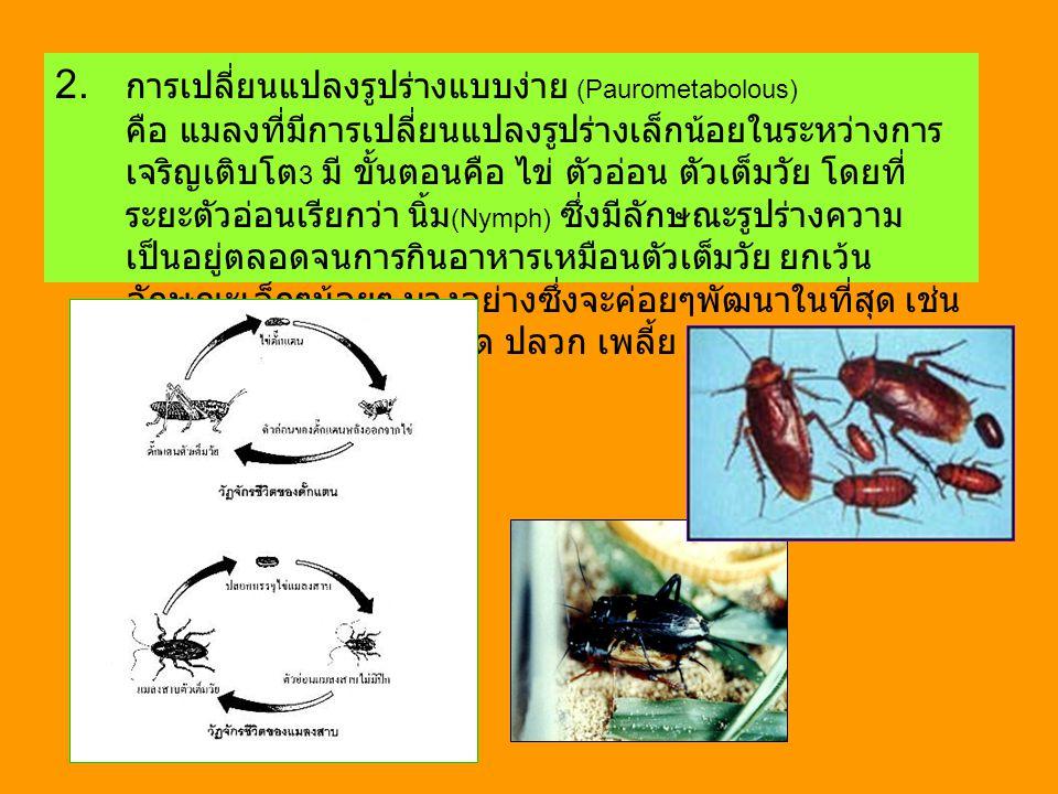 2. การเปลี่ยนแปลงรูปร่างแบบง่าย (Paurometabolous)