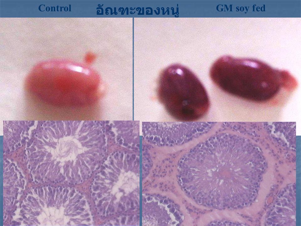 อัณฑะของหนู่ Control GM soy fed GM-soy: disturbance of blood stream