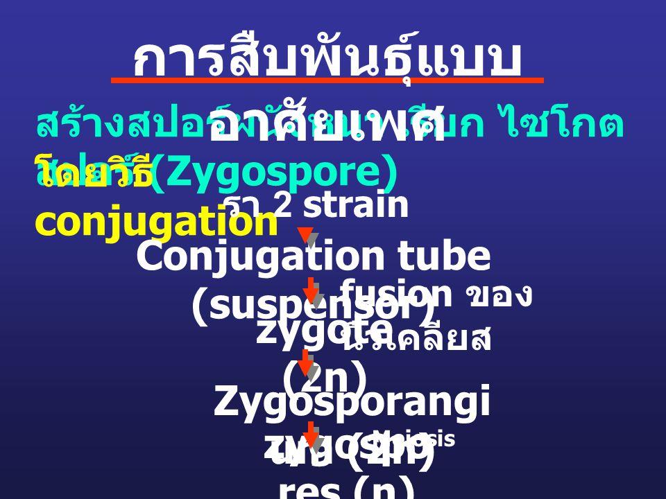 การสืบพันธุ์แบบอาศัยเพศ Conjugation tube (suspensor)