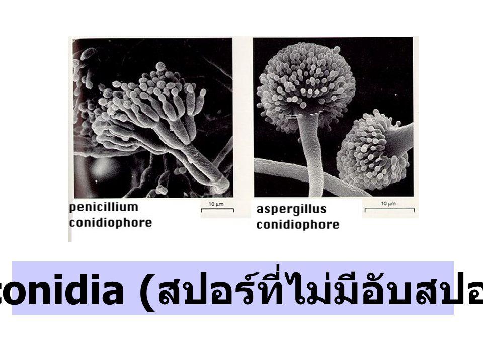 สร้าง conidia (สปอร์ที่ไม่มีอับสปอร์หุ้ม)