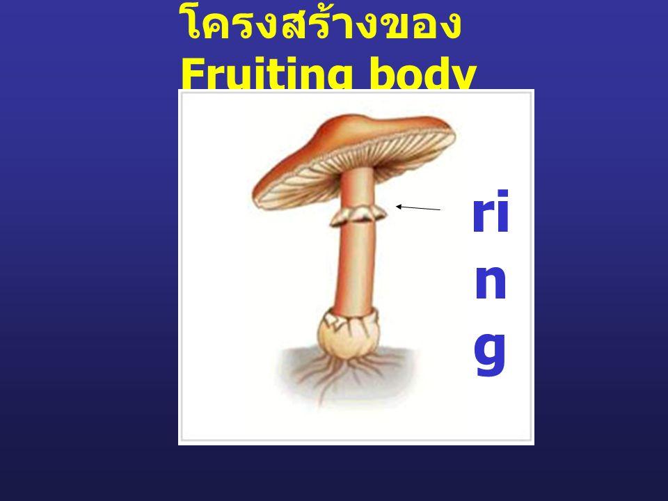 โครงสร้างของ Fruiting body