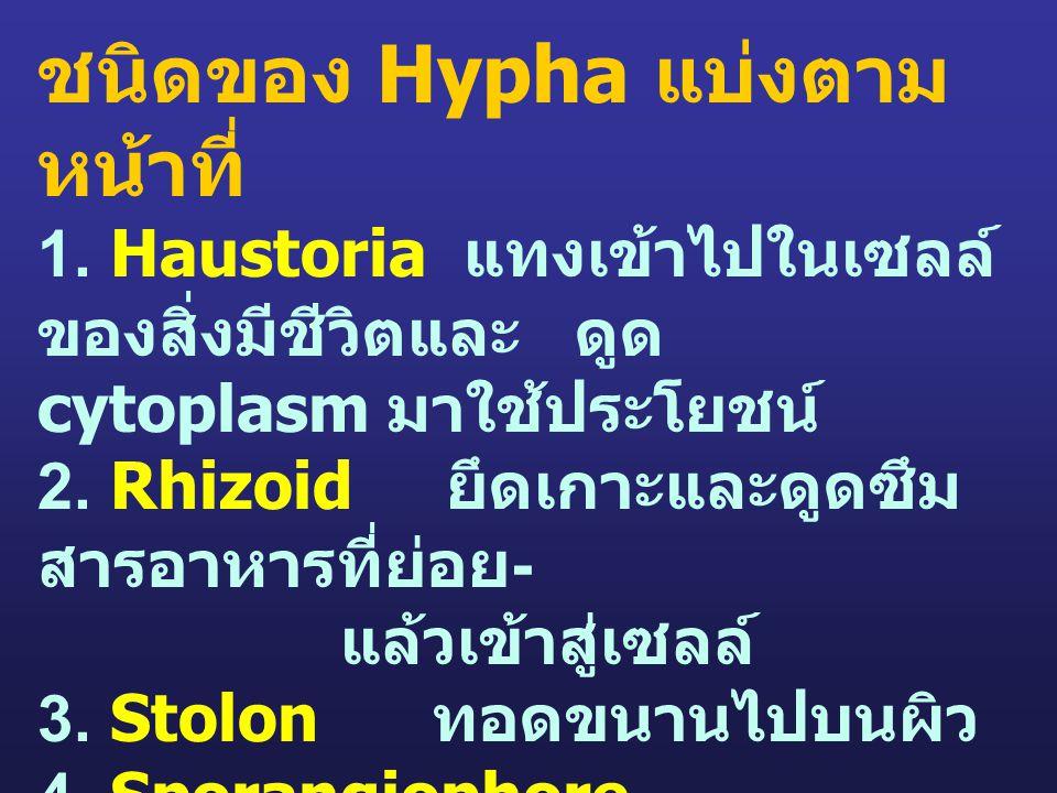 ชนิดของ Hypha แบ่งตามหน้าที่