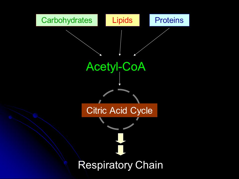 Acetyl-CoA Respiratory Chain Citric Acid Cycle Carbohydrates Lipids