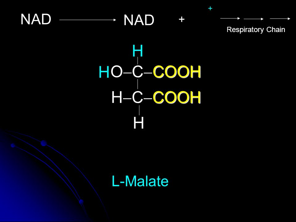 + NAD NAD + Respiratory Chain H H O CCOOH HCCOOH H L-Malate