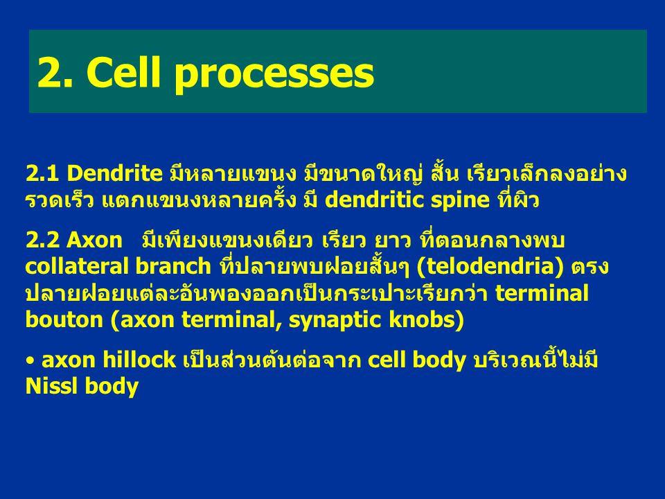 2. Cell processes 2.1 Dendrite มีหลายแขนง มีขนาดใหญ่ สั้น เรียวเล็กลงอย่างรวดเร็ว แตกแขนงหลายครั้ง มี dendritic spine ที่ผิว.