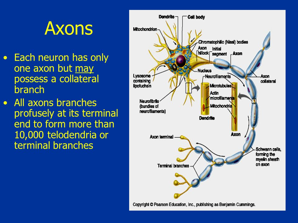 Axons Each neuron has only one axon but may possess a collateral branch.