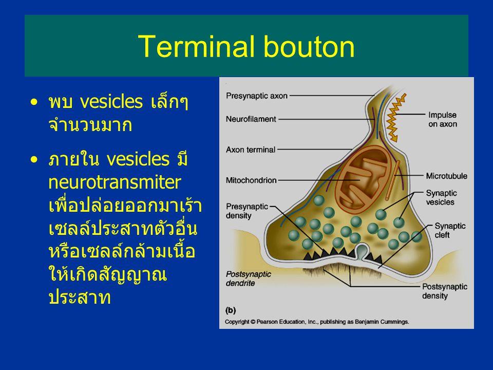 Terminal bouton พบ vesicles เล็กๆ จำนวนมาก