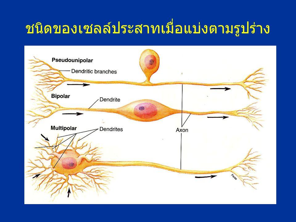 ชนิดของเซลล์ประสาทเมื่อแบ่งตามรูปร่าง