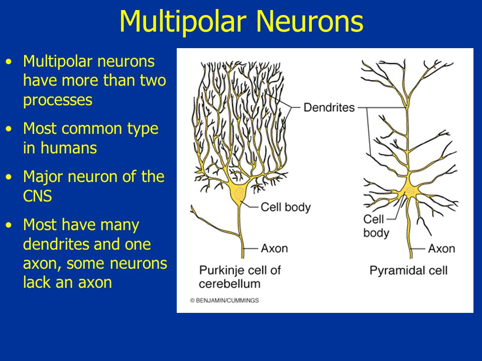 Multipolar Neurons Multipolar neurons have more than two processes