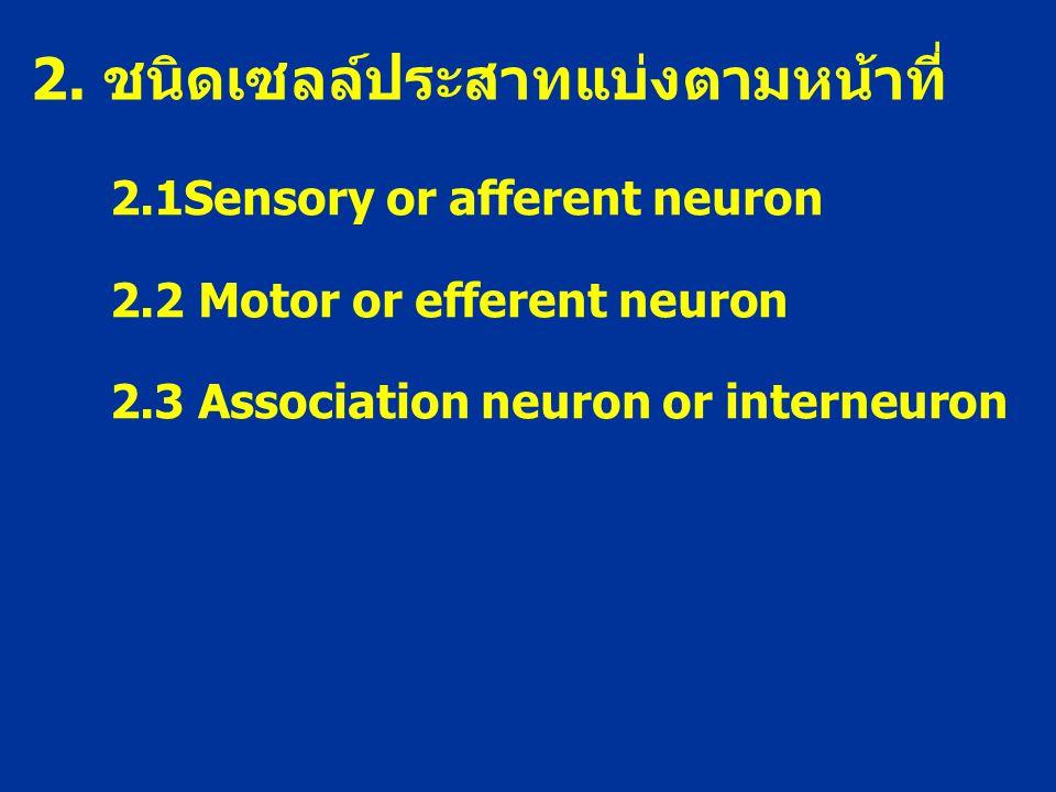 2. ชนิดเซลล์ประสาทแบ่งตามหน้าที่