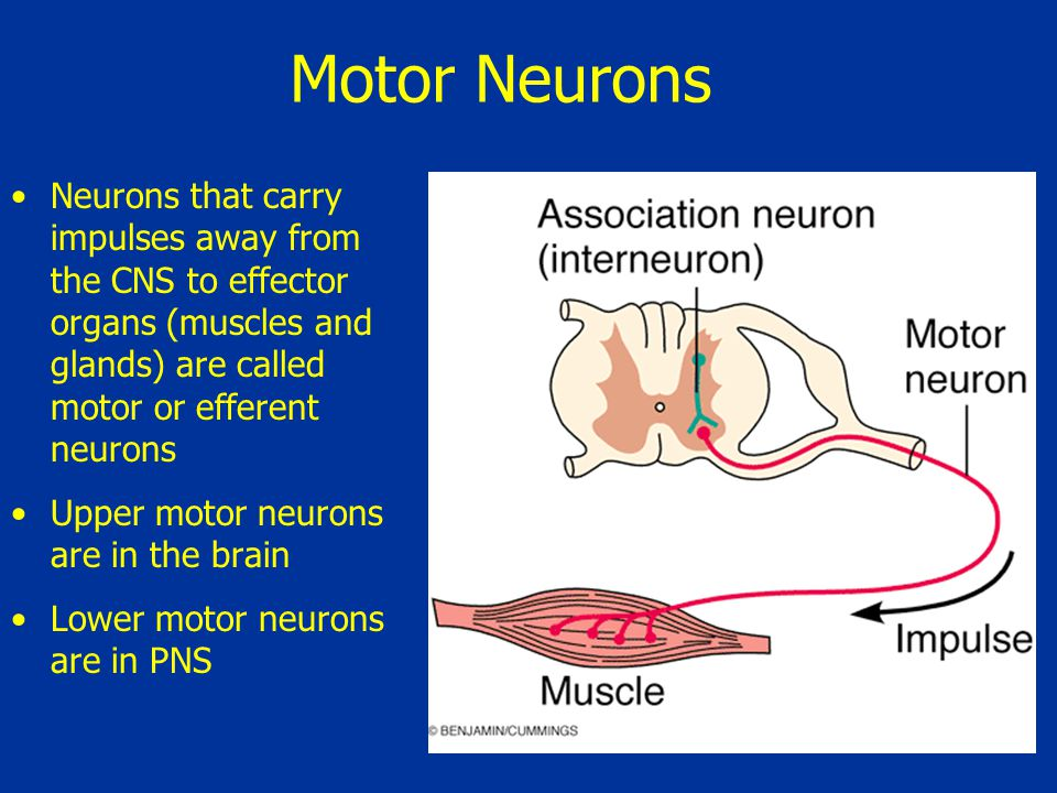 Motor Neurons Neurons that carry impulses away from the CNS to effector organs (muscles and glands) are called motor or efferent neurons.