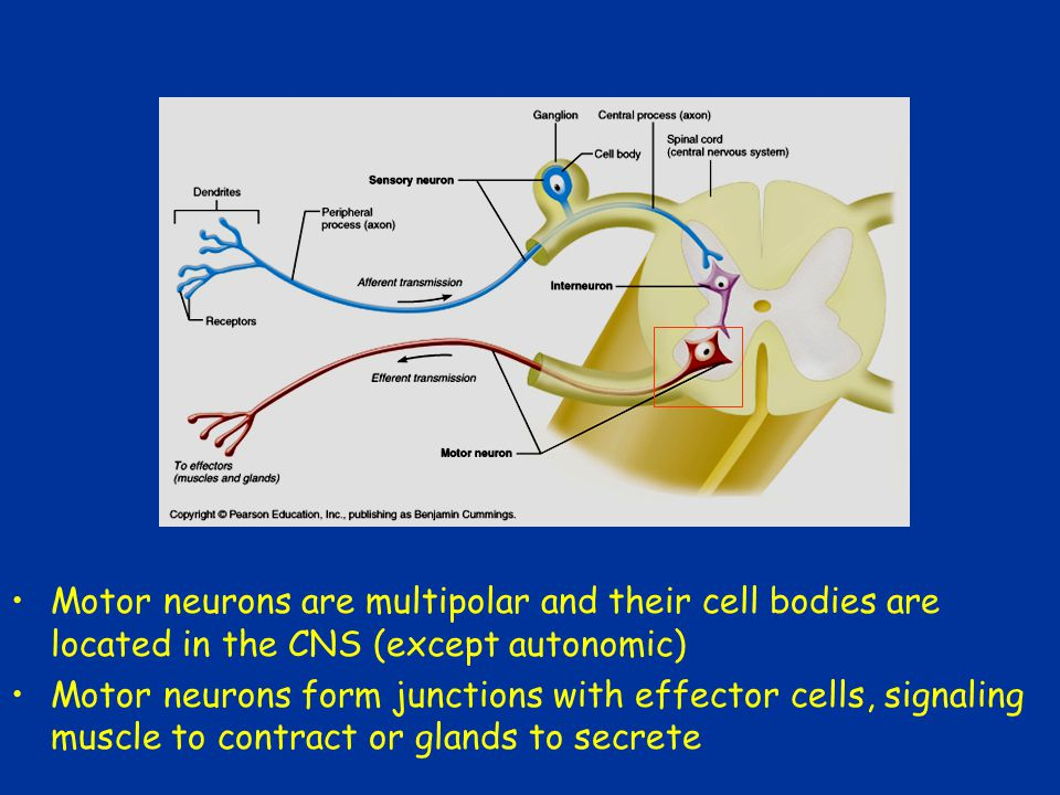 Motor neurons are multipolar and their cell bodies are located in the CNS (except autonomic)