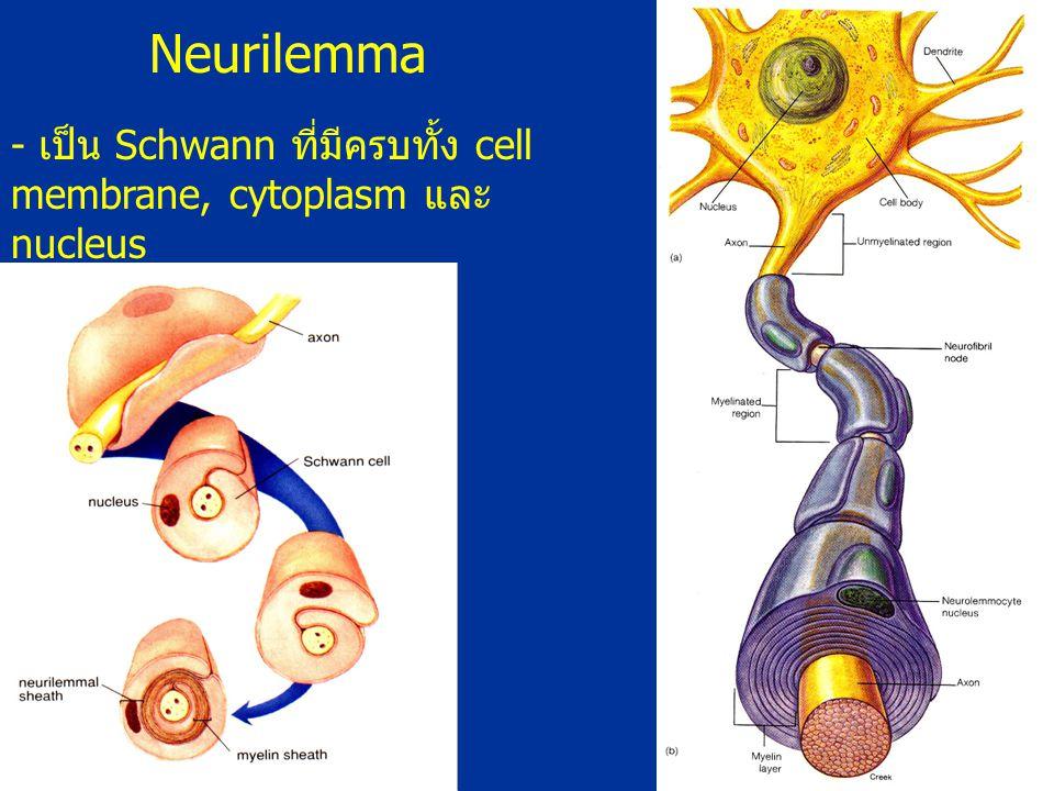 Neurilemma - เป็น Schwann ที่มีครบทั้ง cell membrane, cytoplasm และ nucleus