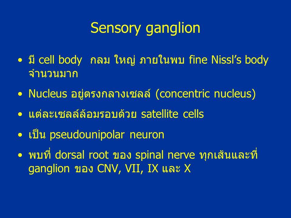 Sensory ganglion มี cell body กลม ใหญ่ ภายในพบ fine Nissl's body จำนวนมาก. Nucleus อยู่ตรงกลางเซลล์ (concentric nucleus)