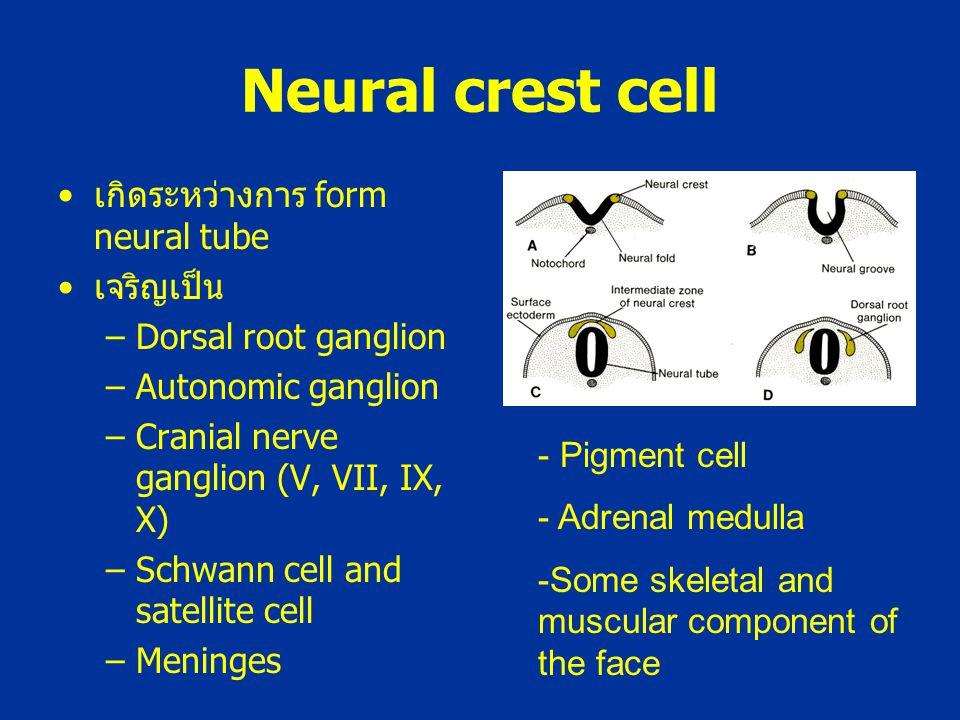 Neural crest cell เกิดระหว่างการ form neural tube เจริญเป็น