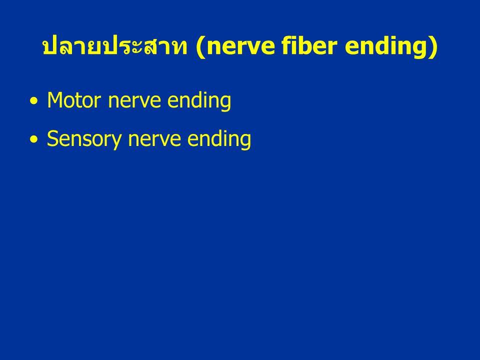 ปลายประสาท (nerve fiber ending)