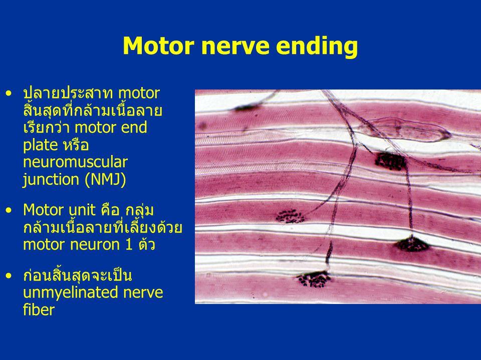 Motor nerve ending ปลายประสาท motor สิ้นสุดที่กล้ามเนื้อลาย เรียกว่า motor end plate หรือ neuromuscular junction (NMJ)