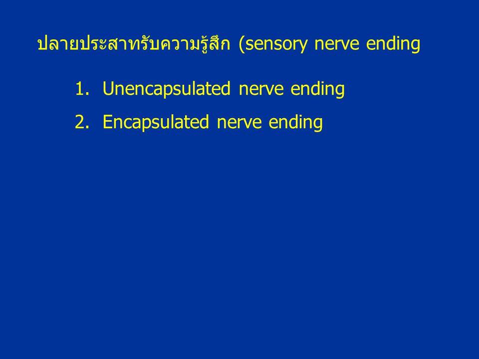 ปลายประสาทรับความรู้สึก (sensory nerve ending