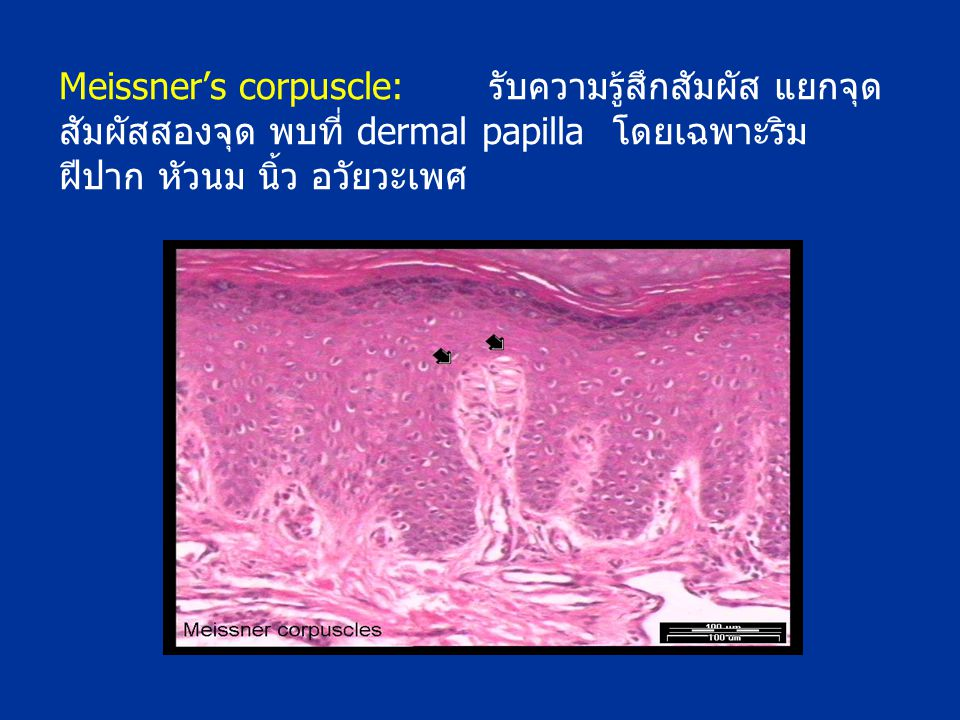Meissner's corpuscle: รับความรู้สึกสัมผัส แยกจุดสัมผัสสองจุด พบที่ dermal papilla โดยเฉพาะริมฝีปาก หัวนม นิ้ว อวัยวะเพศ