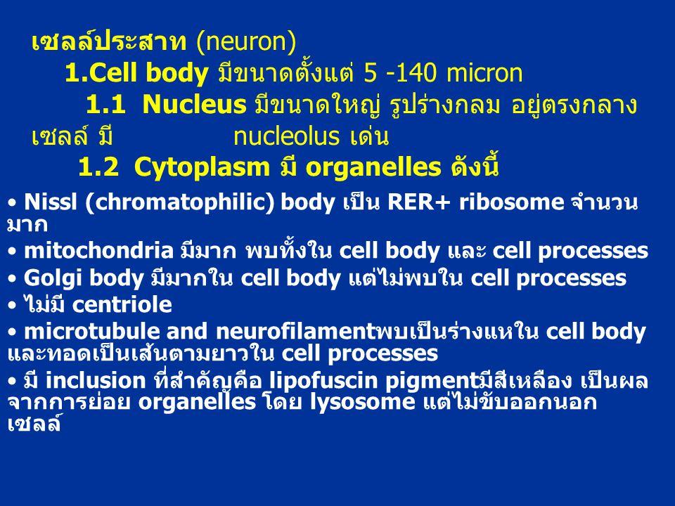 เซลล์ประสาท (neuron) 1. Cell body มีขนาดตั้งแต่ 5 -140 micron 1