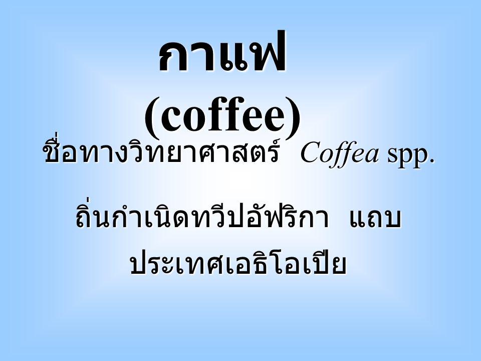 กาแฟ (coffee) ชื่อทางวิทยาศาสตร์ Coffea spp.