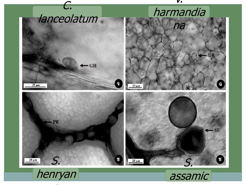 C. lanceolatum V. harmandiana S. henryana S. assamica