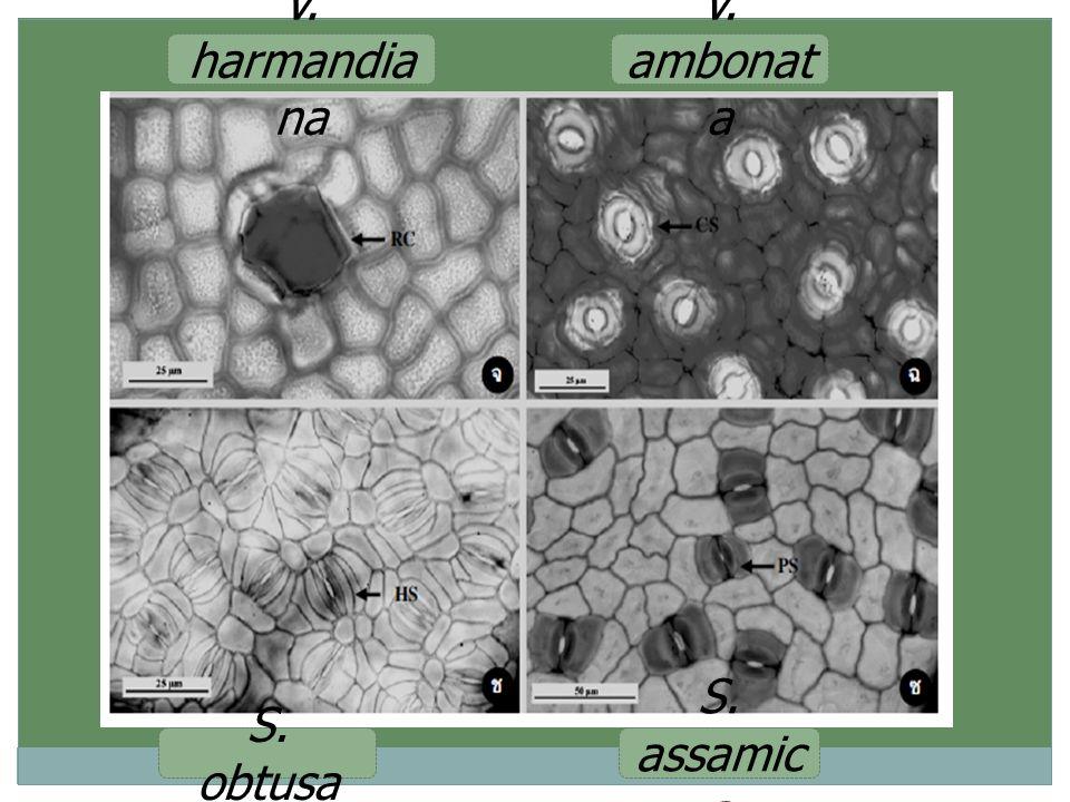 V. harmandiana V. ambonata S. obtusa S. assamica