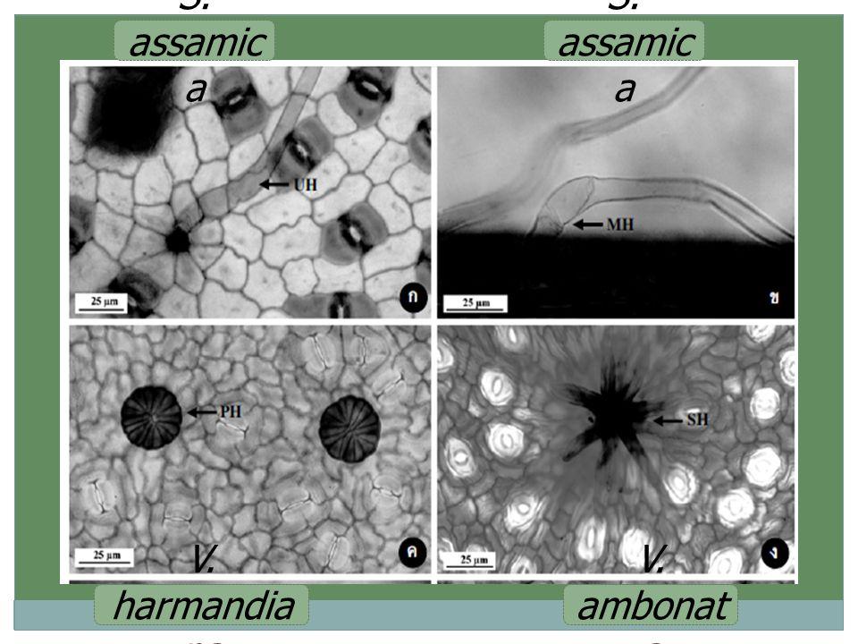 S. assamica S. assamica V. harmandiana V. ambonata