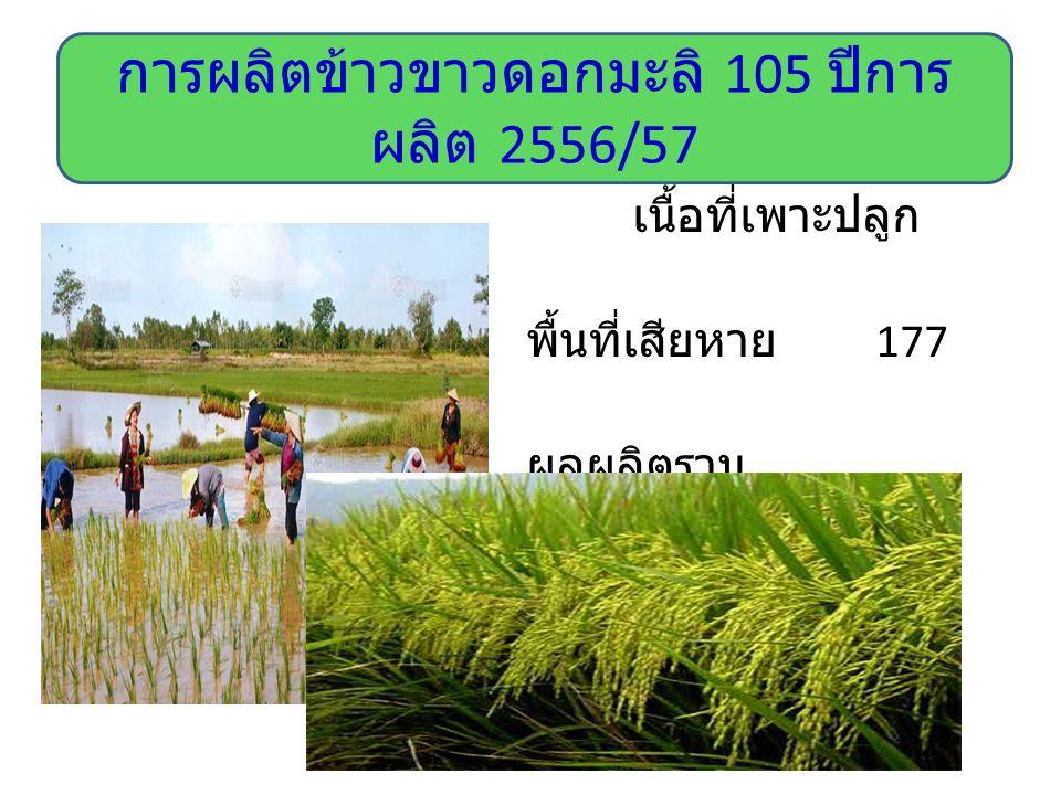 การผลิตข้าวขาวดอกมะลิ 105 ปีการผลิต 2556/57