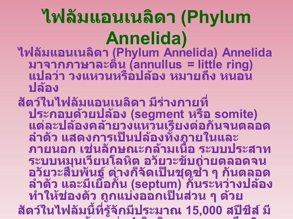 ไฟลัมแอนเนลิดา (Phylum Annelida)