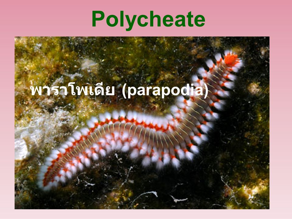 Polycheate พาราโพเดีย (parapodia)