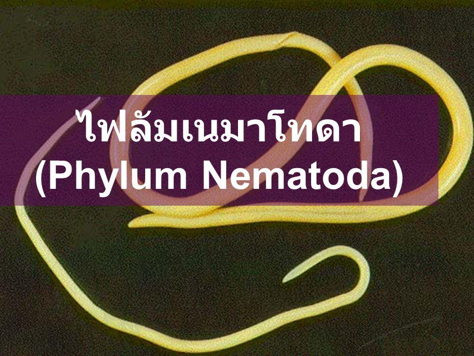 ไฟลัมเนมาโทดา (Phylum Nematoda)