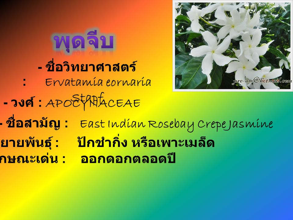 พุดจีบ - ชื่อวิทยาศาสตร์ : Ervatamia eornaria Stapf