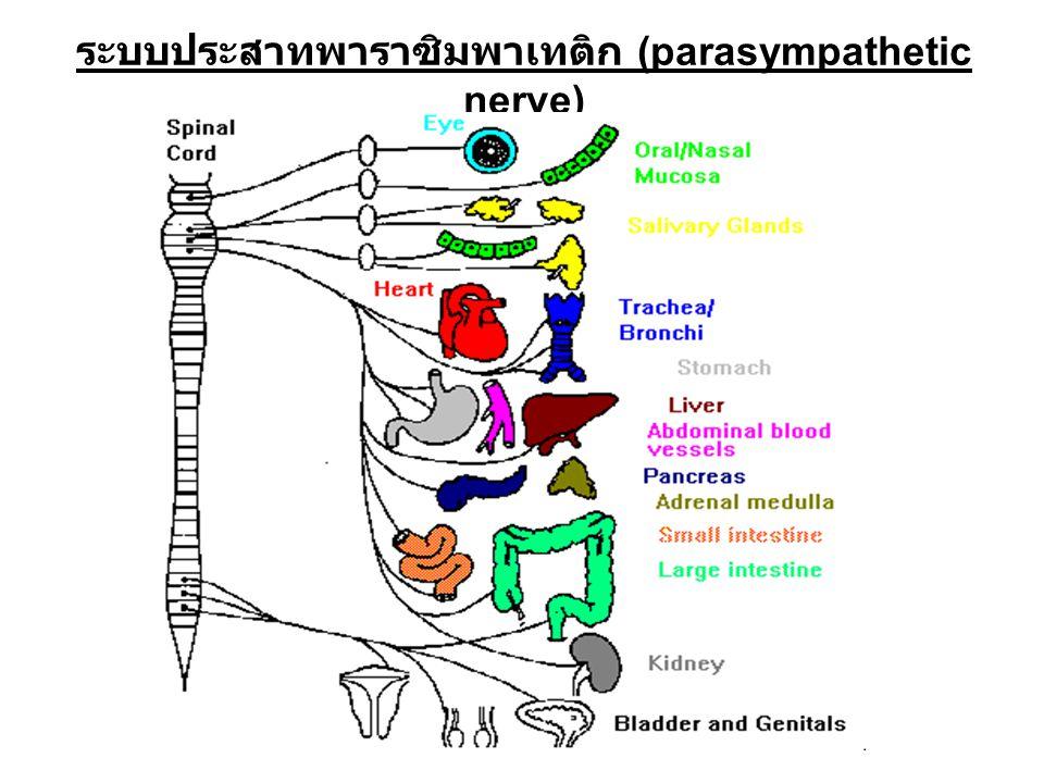 ระบบประสาทพาราซิมพาเทติก (parasympathetic nerve)