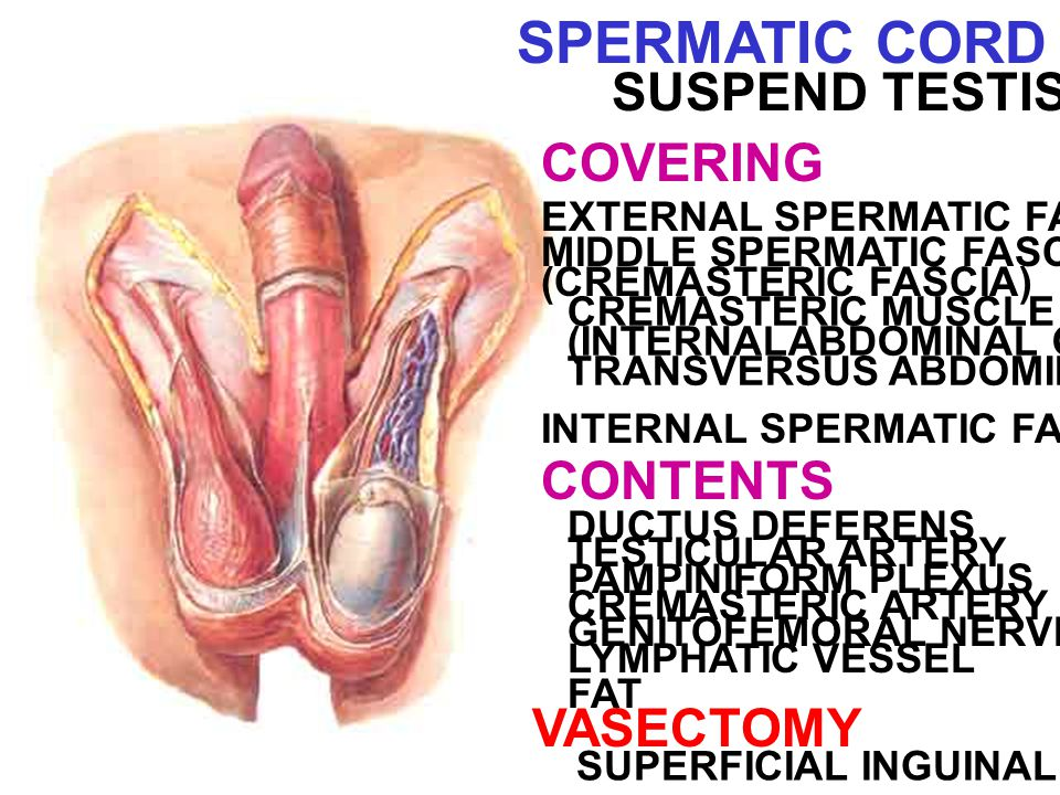 SPERMATIC CORD SUSPEND TESTIS COVERING CONTENTS VASECTOMY